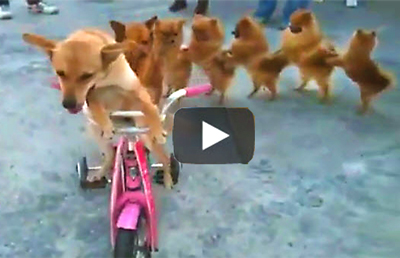 Video-of-dog-riding-bike-with-a-chorus-line-of-walking-dogs-behind-him. (1)