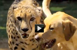 Funny dog video playing with cougar-of-animal-odd-couples-demonstrating-cross-species-relationships-showing-cougar-with-dog-t