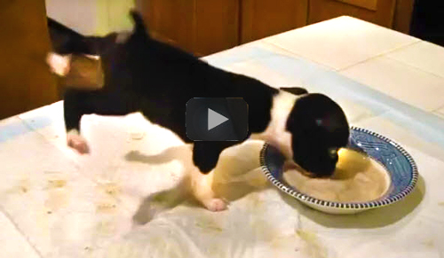 Funny Animal Videos- video of puppy flipping over and into his food