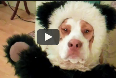The-Ultimate-Dog-Shaming-video,-funny-antics-by-a-beagle