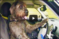 Driving-dogs---video-still-in-car-steering-wheel-with-paws