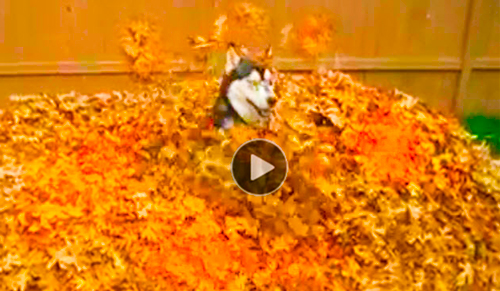 Funny-animal-video-of-crazy-Husky-dog-leaping-&-running-in-huge-pile-of-leaves,-pretending-it's-snow--