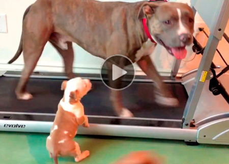 Funny-dog-video-of-puppy-trying-to-join-his-mother-on-a-treadmill,-inspiring-and-touching,-for-kids--