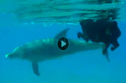 Video | Dog swimming with wild dolphins