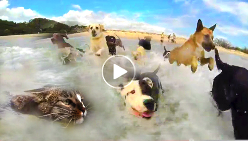 Youtube-funny-dog-video-of-dogs-having-a-beach-party-with-a-cat-swimming-in-the-ocean-with-them,-viral-video-clip-for-kids