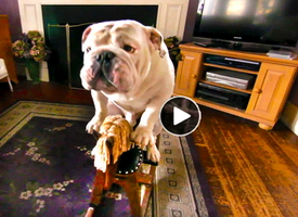 best funny viral dog video-of-Gabe-the-bulldog-doing-tricks and humorous stunts good clip for kids