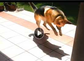 best youtube funny dog video shows german shepard who thinks his shadow is a monster he must stomp on