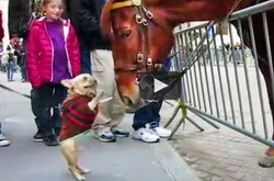Funny Dog Video | bulldog befriends police horse