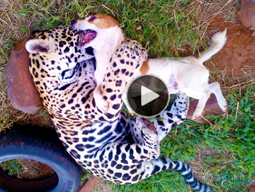 Amuzing-&-touching-video-of-dog-and-jaguar-who-are-best-friends,-live,-eat,-play-together