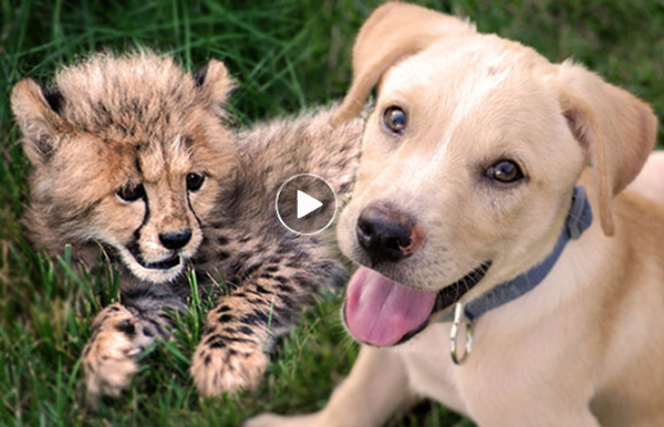Funny-and-heartwarming-dog and cat-video-for-kids-of-cheetah-and-puppy-friendship