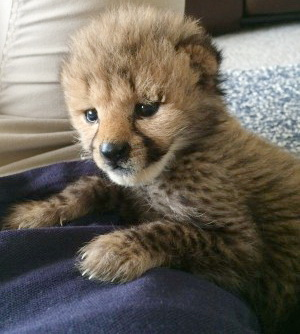 Funny and heartwarming dog video for kids of cheetah and puppy friendship