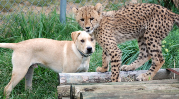 Funny and heartwarming dog and cat video for kids of cheetah and puppy friendship
