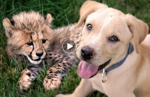 Dog Videos | heartwarming story of sick Cheetah cub and his puppy savior