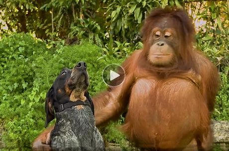 Humorous dog and cat video with unlikely interspecies friendships with elephants, monkeys, deer, lions, rhinos